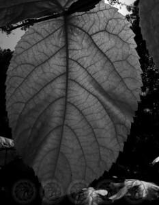 Leaf - John Muir Forest, Ca