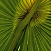 Palm Frond (again)