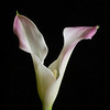 "<font color=""#e9efb7"">Double Headed Calla Lily"