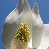Magnolia grandiflora flower.