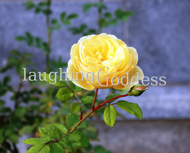 Title: Yellow on Stone A yellow rose stands guard beside a stone wall