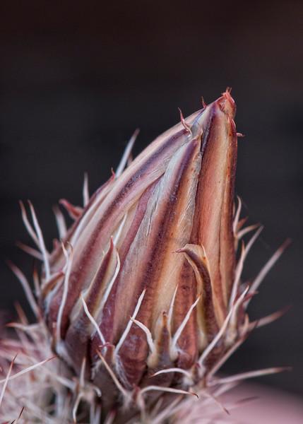Cactus Flower Budding