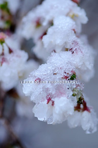 A layer of snow and ice cover delicate cherry blossoms