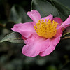 Camellia sasanqua cv. 950350<br /> Royal Botanic Gardens, Sydney.
