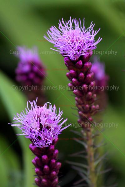 Blooming Liatris