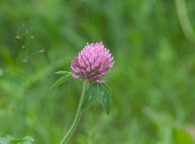 This lone clover blossom was photographed south of Anchorage along Turnagin Arm in early Autumn.