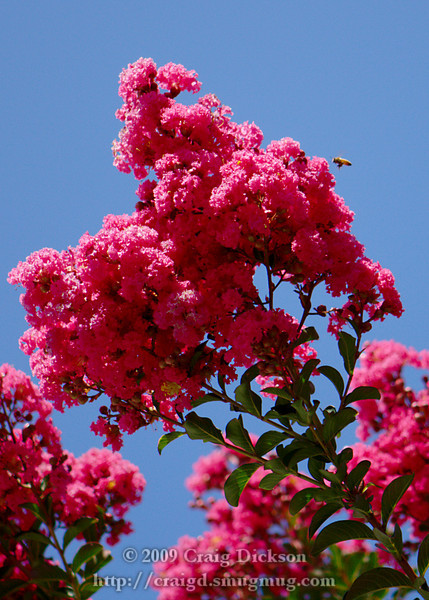 Pink Velour crape myrtle with bee on Castro Street in Mountain View, California, August 2009