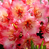 The bouquet.<br /> This rhody is finally blooming and lighting up the area under the trees in it's glorious color.