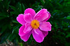 #A Pink Peony Cultivar, Rictographs Images