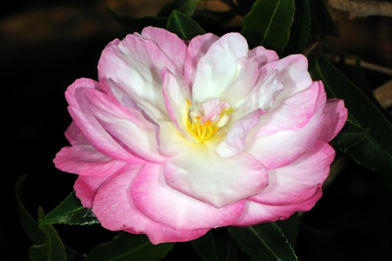 Camellia sasanqua 'Paradise Sayaka'<br /> Royal Botanic Gardens, Sydney.