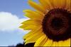 Perfect Sunflower