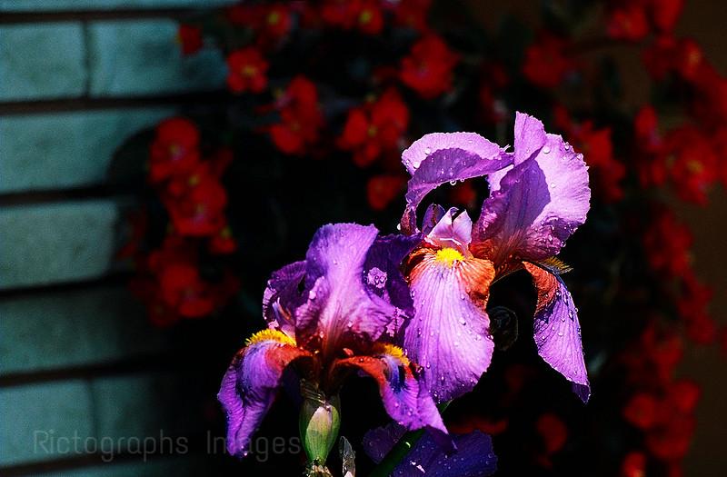 Bearded Iris, Beauties