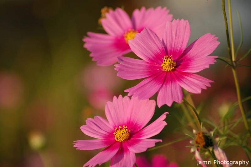 Hot Pink Cosmos (Japanese Kosumosu)