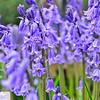 Wood hyacinth - 147
