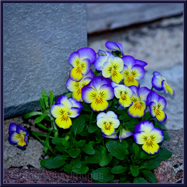 Growing Pansies, Rictographs Images