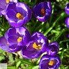Purple crocuses - 16