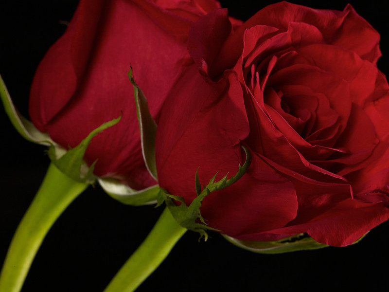 Red Rose #6