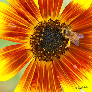 Honey Bee On Sun Flower
