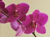 Purple Moon Orchid 1