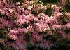 7361 - Atlanta Azalia Flowers