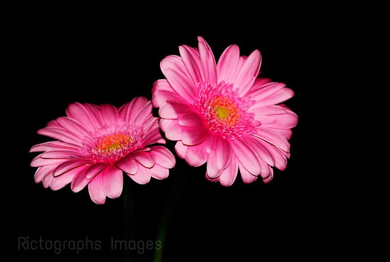 Pink Hybrid Cultivars, Beautiful, Rictographs Images