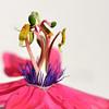 Passiflora - Passionflower.