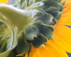 Sunflower side view stem and petals