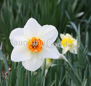Title: White daffodil with a bright orange center peeking out of the grass. Summit, NJ