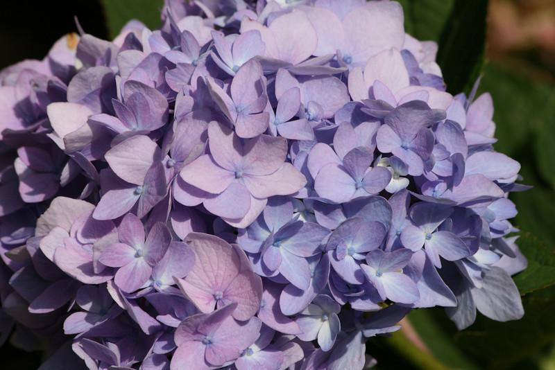 Purple blue hydrangea, End of summer, Portland Oregon