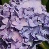 Purple blue hydrangea, End of summer, Portland Oregon