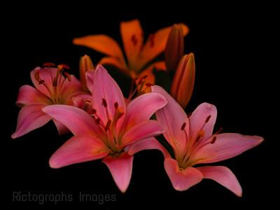 Beautiful Lilies