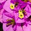 Drillingsblume (Kreta, Garten)