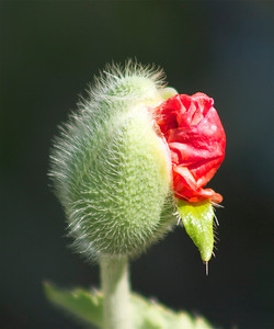 Poppy flower getting ready to emerge!