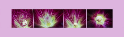 Metamorphasis of a Purple flower  framed  1276