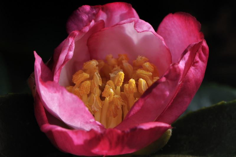 Camellia sasanqua cv. Kawas<br /> Royal Botanic Gardens, Sydney.