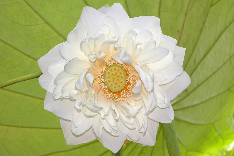 Nelumbo nucifera cv. Hindu Lotus<br /> Sacred Lotus<br /> Sydney Royal Botanic Gardens, Australia.