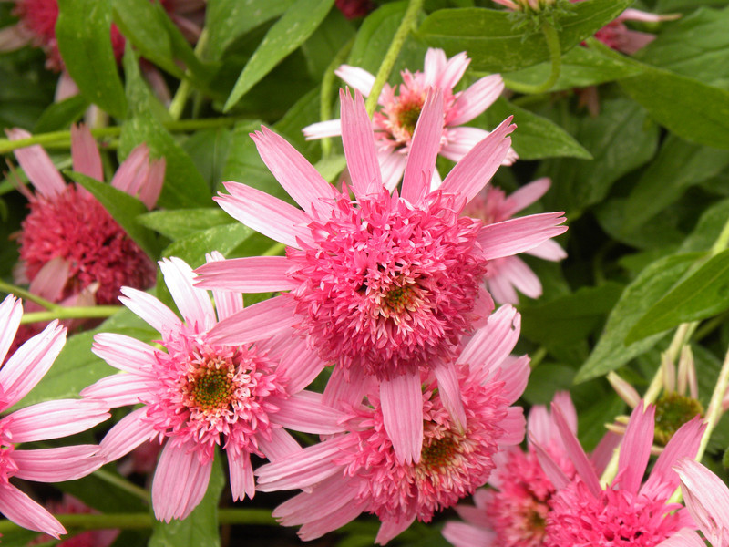 Coneflower- Echinacea; Pink Double Delight