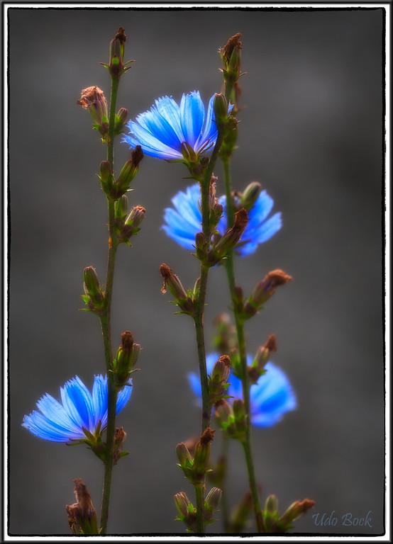 Chicory / Wegwarte
