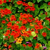 Nasturtiums in carlsbad glowing under the warm sun.