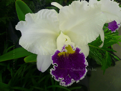 Orchid off white & purple 0508