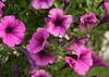 2413 - Petunia Flowers