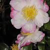 Camellia sasanqua 1047<br /> Eryldene Historic House and Garden. Sydney Australia.