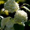 Spring Snowballs cover this virburnum..Yeah it's finally spring