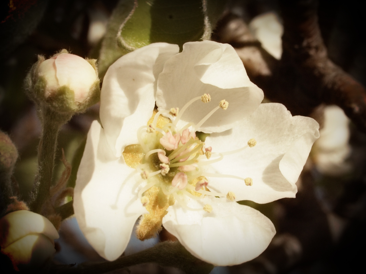 Pear Blossoms  Order Code: B31