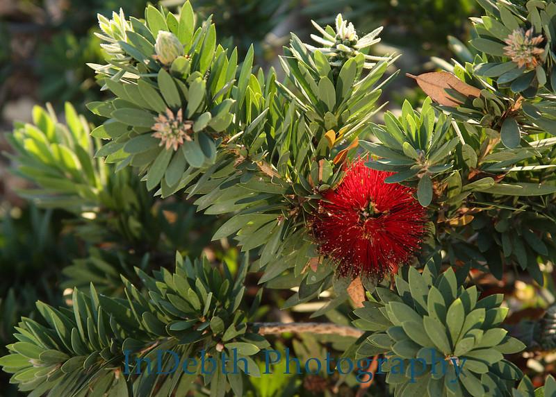 0629 - Bottle Brush Flower