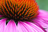 Purple coneflower aka echinacea