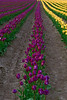 Rows of yellow and purple tulips