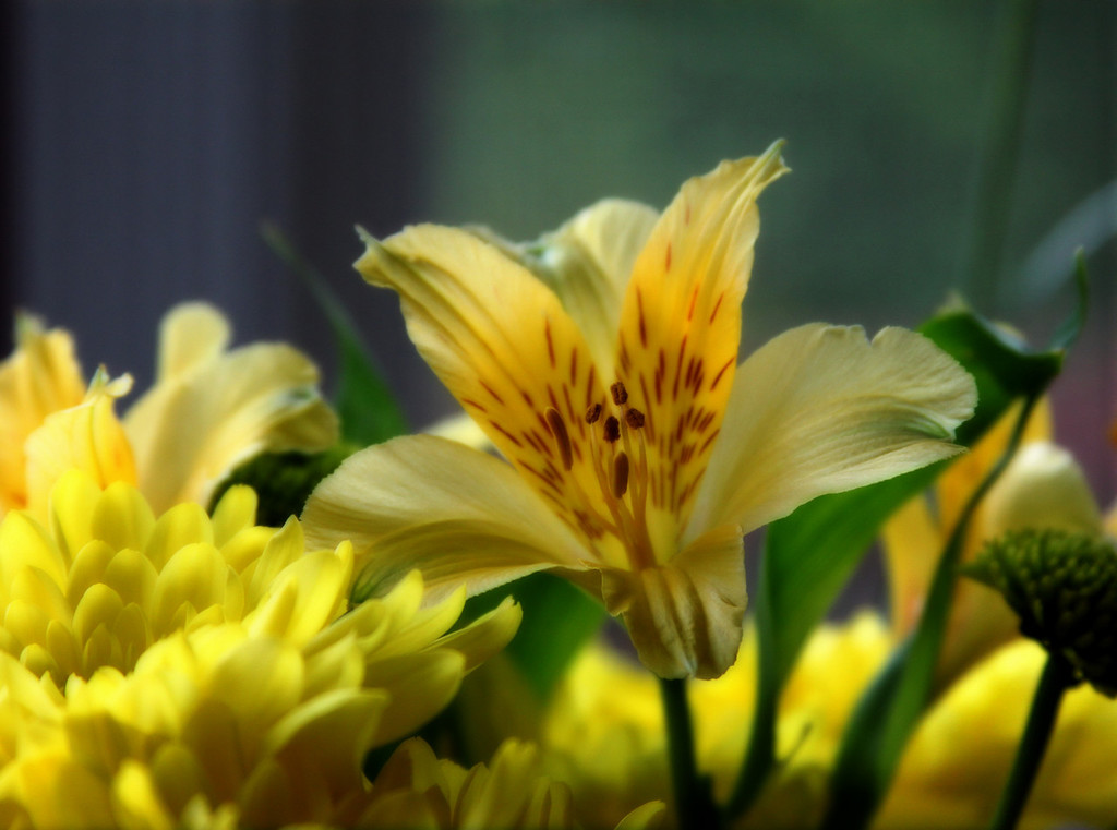 yellow lily copy