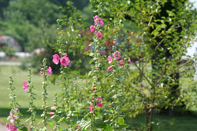 Hollyhocks, Old Shawneetown, IL