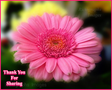 Pink, Bloomer, Thank You